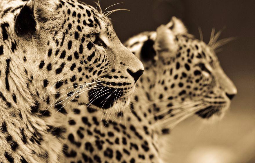 危险又迷人 大型猫科动物的魅力影像
